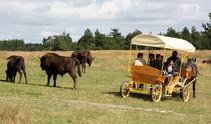 bisons-europe-sainte-eulalie-01.jpg