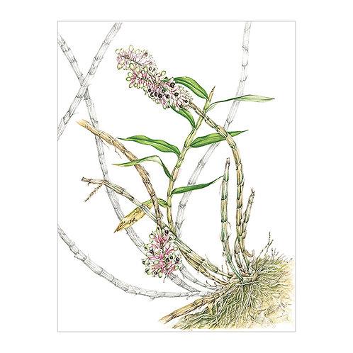 Dendrobium smirie