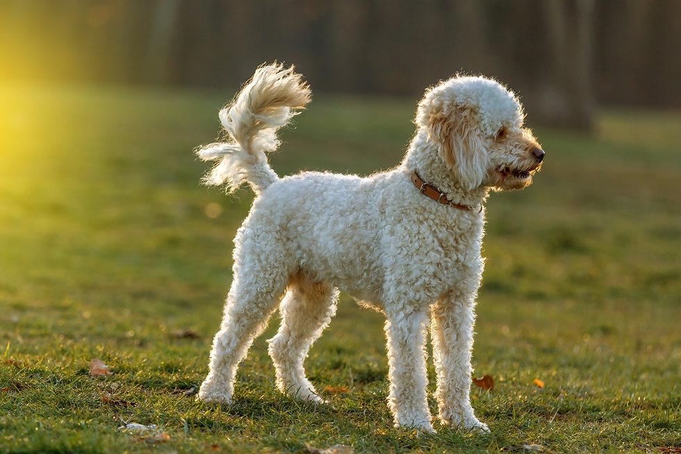 Poodle Standing.jpg