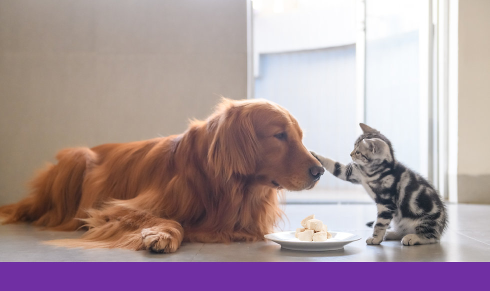 Golden-Retriever-&-Kitten