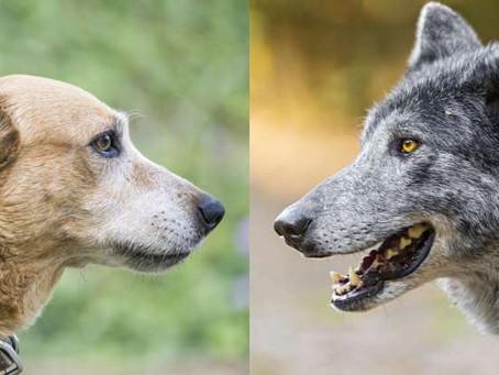 Cães Vs Lobos