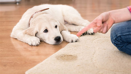 puppy-dog-pee-urine-rug-stain-today-1610