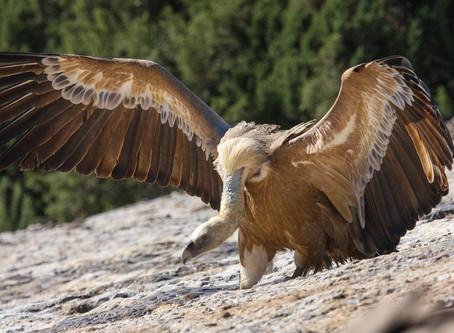 Avvoltoi del Vecchio Mondo