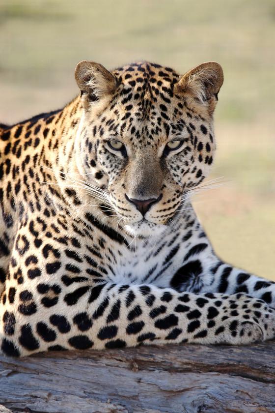 An Unforgettable Leopard Trail at Binsar