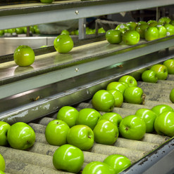 Granny Smith Apples on a sorting table i