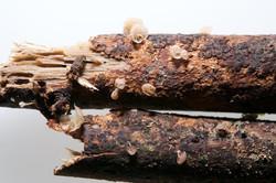 Mycena oculisnymphae