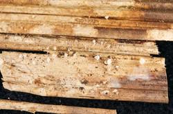 Resinomycena petarensis
