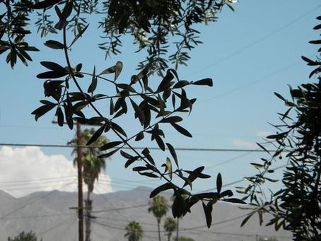 Olives of San Jacinto Valley