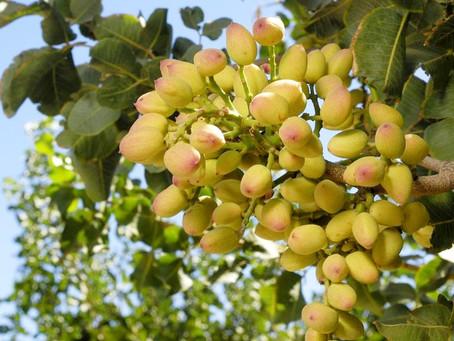 Astonishing Health Benefits Of Pistachios