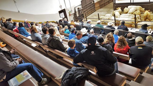 Field Trip to Saskatoon Livestock Sales