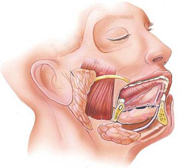 Anatomie des glandes salivaires