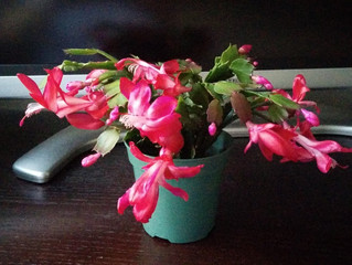My Holiday cactus is in bloom