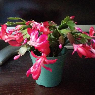 Holiday cactus 2