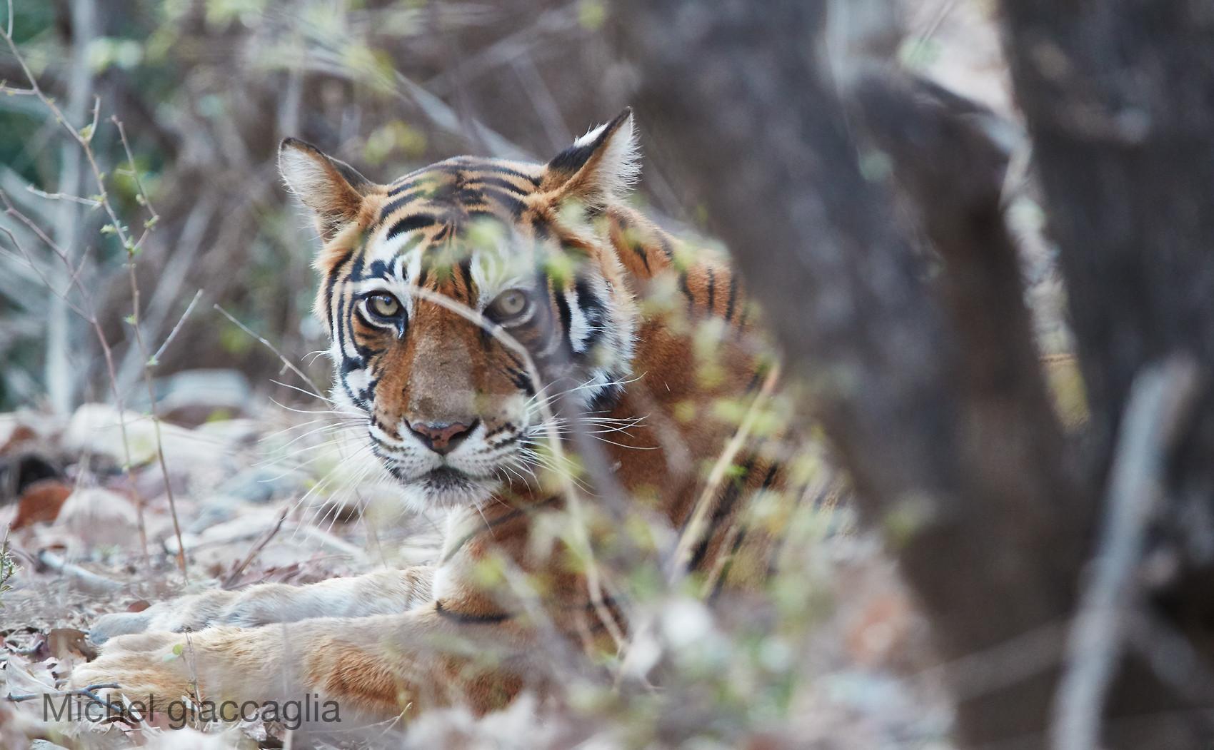 tigre 01.jpg