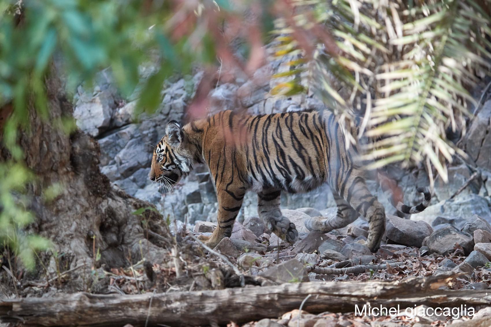tigre 02.jpg