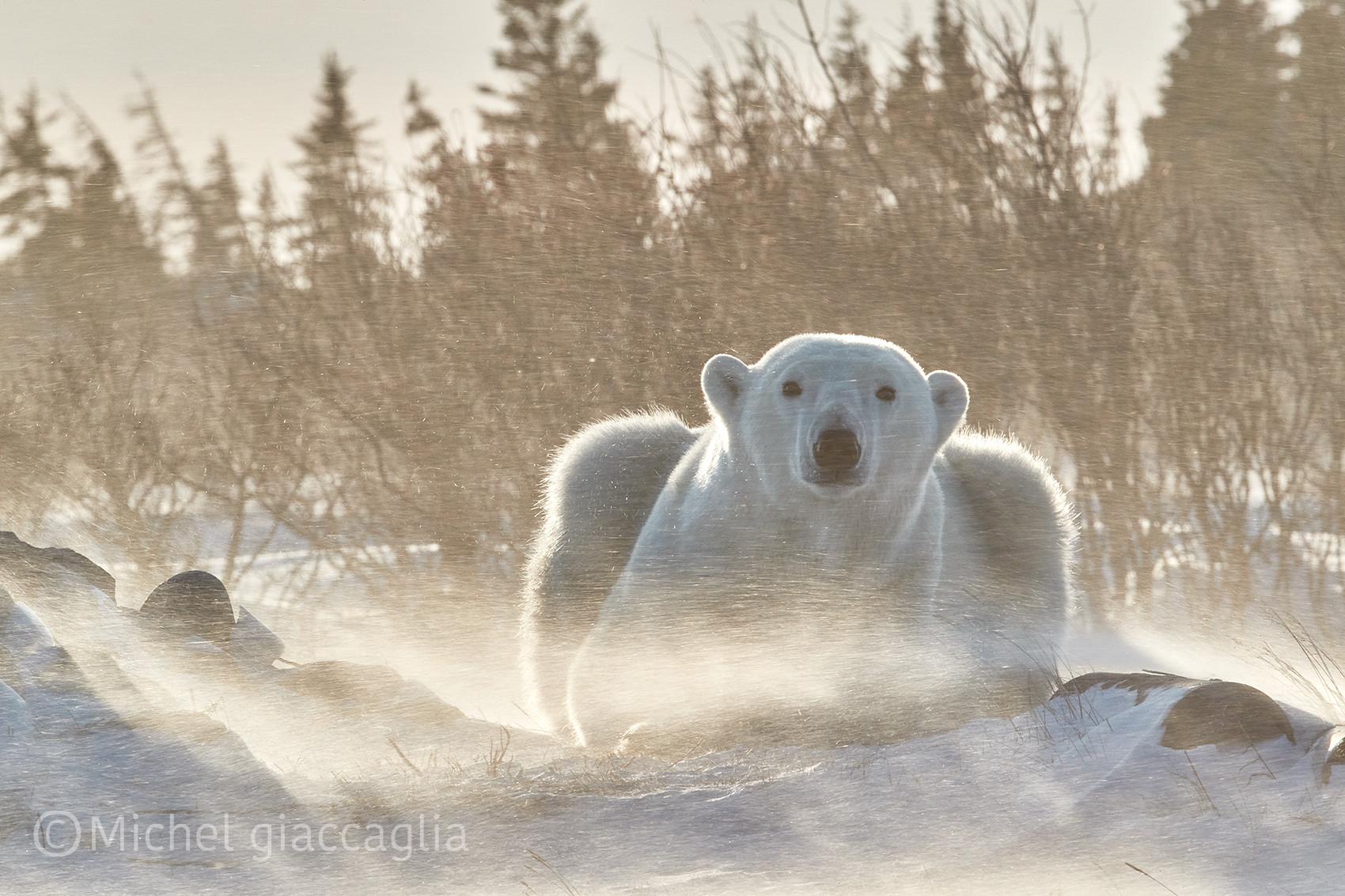 Bear Blizzard.jpg