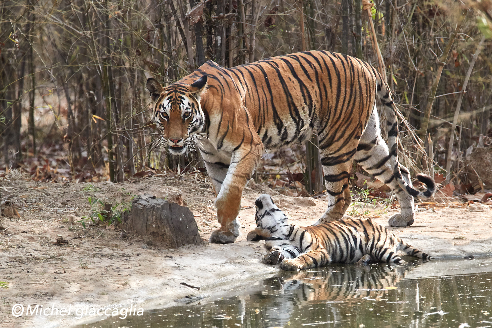 tigra 03.jpg