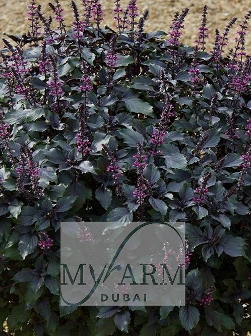 Organic Purple Wild Basil Seeds