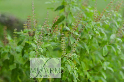 Organic Basilic Wild Seeds