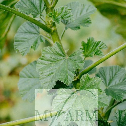 Organic Mallow Seeds