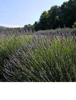Lavender Bridget Chloe wix pic.jpg