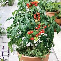 Red patio tomato.jpg