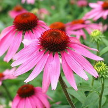 Echinacea-Purple-1_medium.jpg