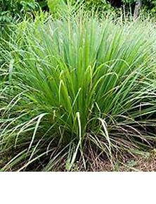 Lemon Grass wix pic.jpg
