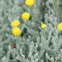 gray santolina.jpg