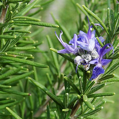 tuscanBlueRosemary flower.jpg