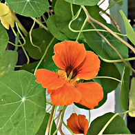 Nasturtium ALL PLANTS - Wix.jpg