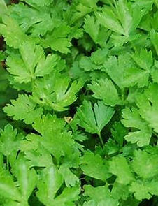 Parsley Big Italy wix pic.jpg