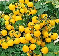 Yellow%20cherry%20tomato_edited.jpg