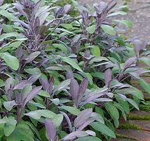 purple sage.jpg