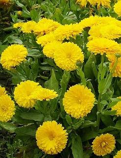 Calendula golden gem wix pic.jpg
