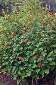 Tithonia-plant-197x300.jpg