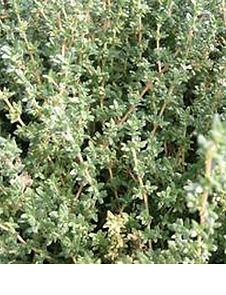 thyme Lavenderr wix pic.jpg