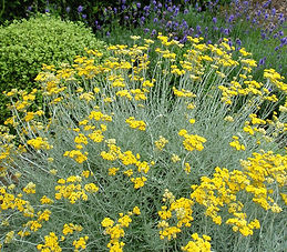 Curry Plant helichrysum-italicum.jpg