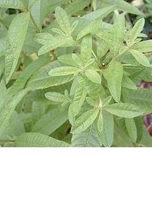 Lemon Verbena wix pic.jpg