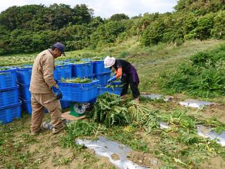 向春草(島アザミ)の初収穫