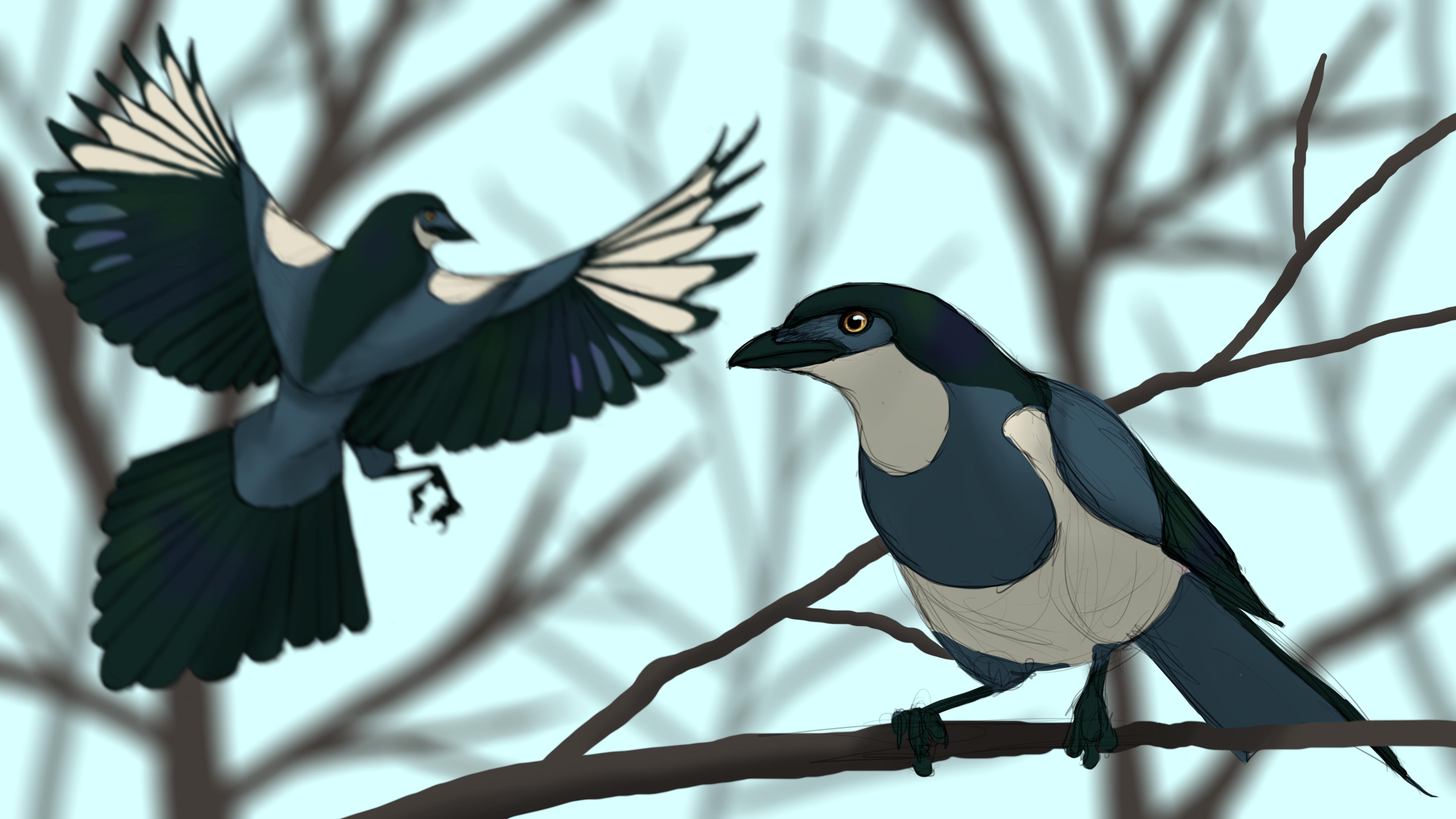 Glaucous Magpie