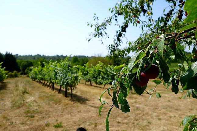 vignes et fruits