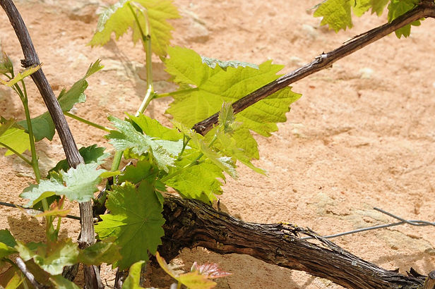 Vigne de terroir