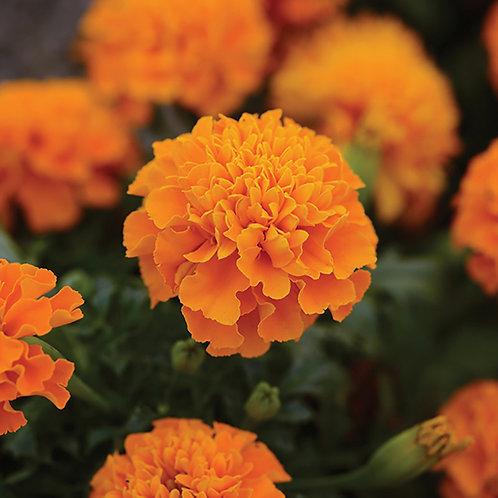 Aztec Marigold (Cempasuchil)