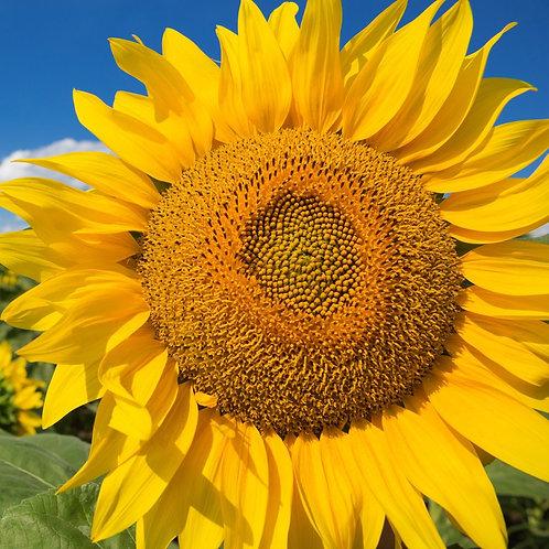 Mammoth Grey Striped Sunflower