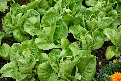 Little Gems Romaine Lettuce