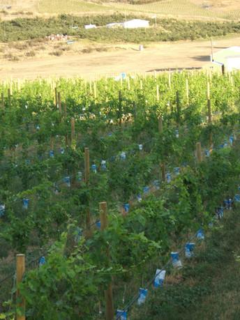 Youthful White Wines