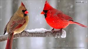 Poem Showcase: A cardinal at my door by Rita Marie Recine