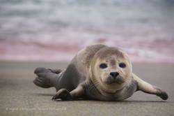 Dirkje (gewone zeehond)