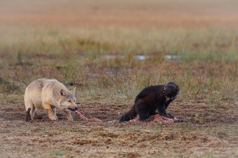 Wolf met veelvraat
